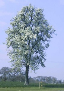 Perry-tree